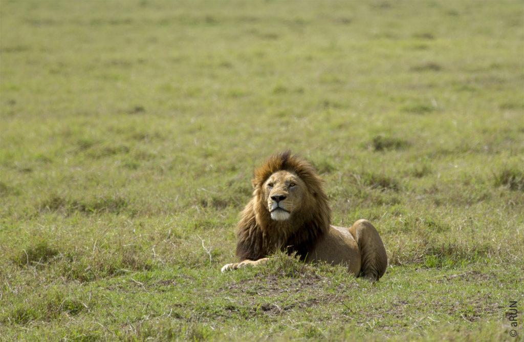 2-lion