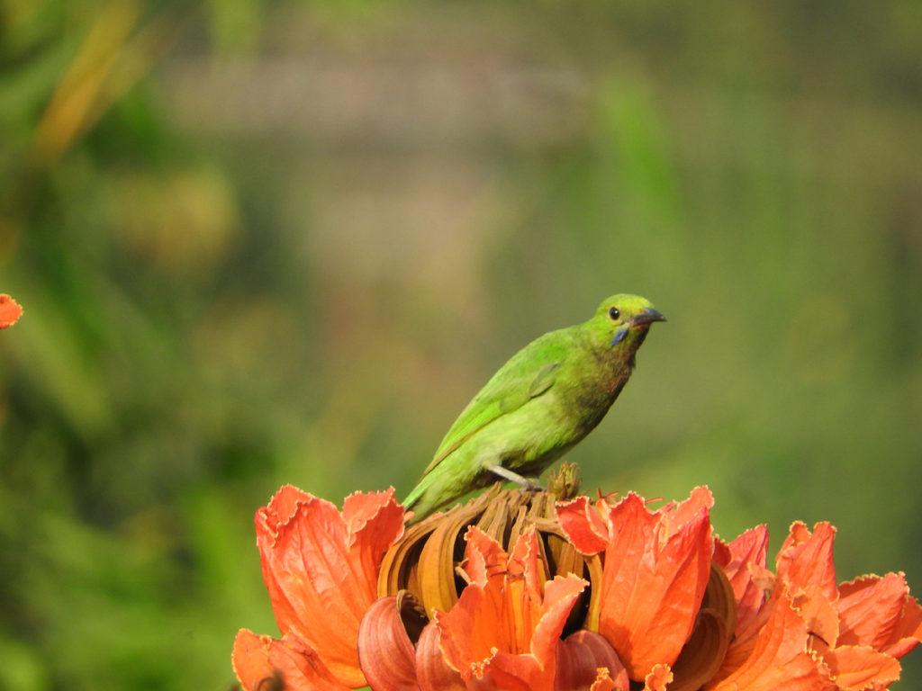04-jerdons-leaf-bird